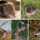Бурозубка обыкновенная (Sorex araneus)