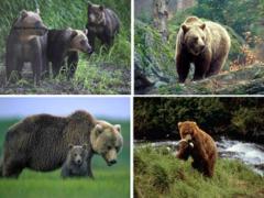 Бурый медведь (Ursus arctos)