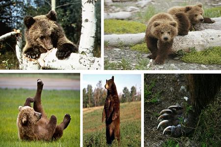 Бурый медведь (Ursus arctos)1