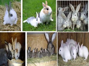 Кролик (Rabbit)