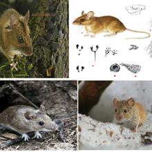 Лесная мышь (Apodemus uralensis)