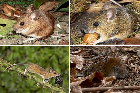 Лесная мышь (Apodemus uralensis)1
