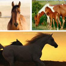 Лошадь (Equus ferus caballus)