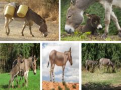 Осёл (Equus asinus)
