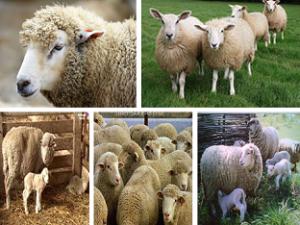 Овца (Ovis aries)