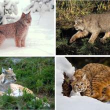 Рысь обыкновенная (Felis lynx)