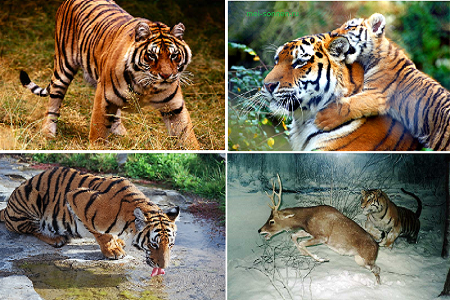 Тигр (Panthera tigris)1