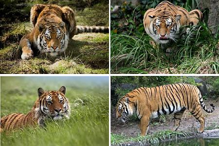 Тигр (Panthera tigris)2