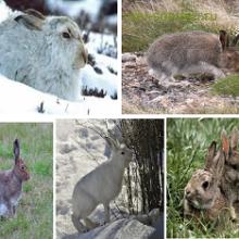 Заяц-беляк (Lepus timidus)