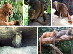 Ягуарунди (Puma yagouaroundi)