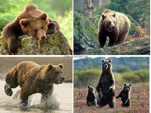 Медведи (Ursus)2