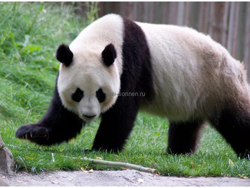 Медведи (Ursus)4