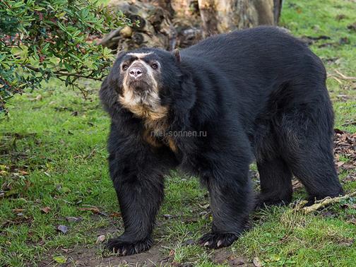 Медведи (Ursus)5