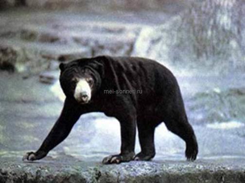 Медведи (Ursus)6
