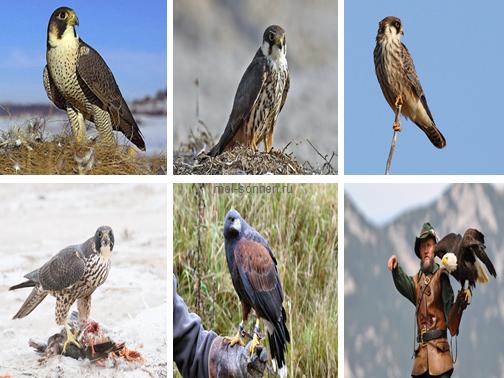 Соколы (Falco)1