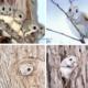 Японская малая летяга (Pteromys momonga)