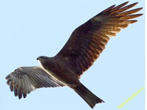 Ястребы(Accipiter) коршун