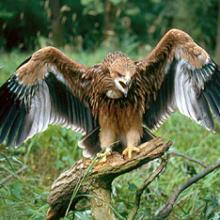Ястребы(Accipiter)