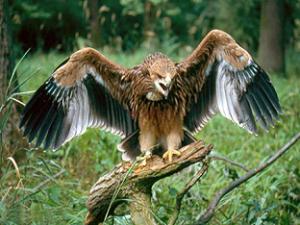 Ястребы(Accipiter) орел-могильник