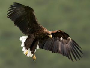 Ястребы(Accipiter) орланы
