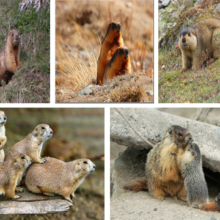 Сурки (Marmota)