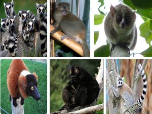 Лемуры (Lemuriformes)