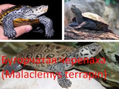 Бугорчатая черепаха (Malaclemys terrapin)