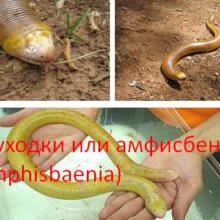 Двуходки или амфисбены (Amphisbaenia)