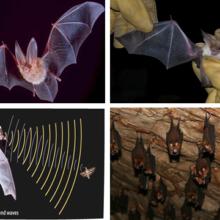 Летучие мыши (Microchiroptera)