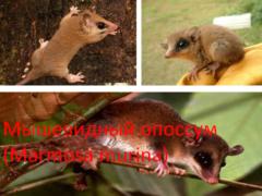 Мышевидный опоссум (Marmosa murina)
