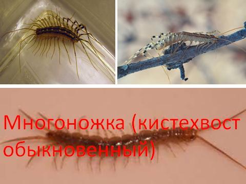 Многоножка (кистехвост обыкновенный)