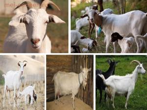 Домашняя коза (Capra hircus)
