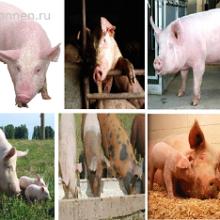 Свинья (Suidae)