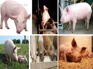 Веселая свинка &#8212