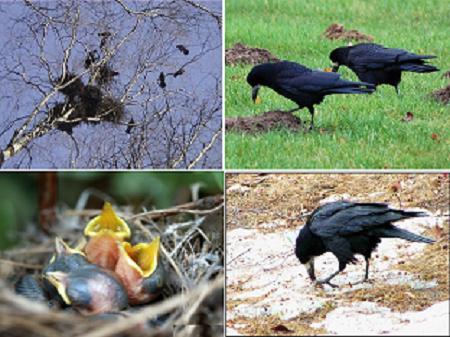 Грач (Corvus frugilegus)