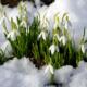 Когда цветут подснежники и где растут?