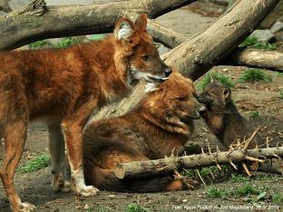 Красный или горный волк: описание, особенности поведения и интересные факты