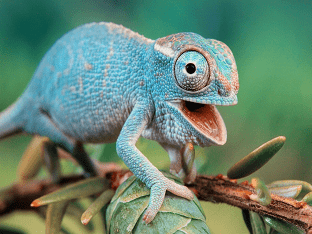 Хамелеон животное. Образ жизни и среда обитания хамелеона