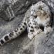 Снежный барс. Среда обитания и образ жизни снежного барса