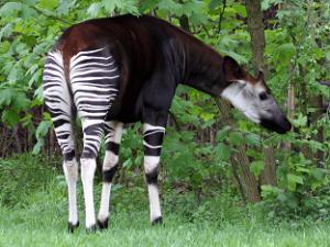 Окапи – миниатюрные лесные жирафы