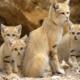Барханный кот (арабская песчаная кошка)