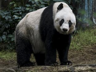 Большая панда, или бамбуковый медведь, или гигантская панда