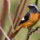 Горихвостка — небольшая птичка с рыжим хвостом