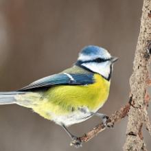 Лазоревка птица. Образ жизни и среда обитания лазоревки
