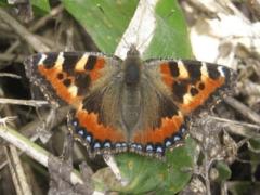 Обыкновенная и необычная бабочка-крапивница