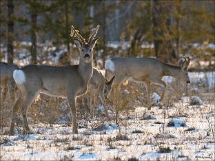 Сибирская косуля- среда обитания, образ жизни Косули
