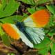 Зорька бабочка. Образ жизни и среда обитания бабочки зорьки