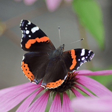 Адмирал бабочка. Образ жизни и среда обитания бабочки адмирал