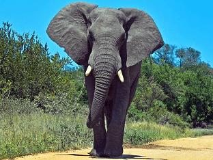 Африканский слон: интересные факты
