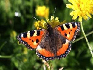Бабочка-шоколадница - исполнительница желаний